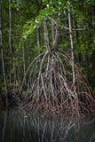 Forêt de palétuvier dans Batanta, Raja Ampat, Indonésie Photographie stock