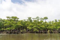 Forêt de palétuvier de rivière de Nakama Image stock