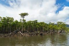 Forêt de palétuvier de rivière de Nakama Image libre de droits