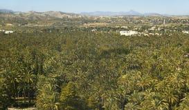 Forêt de palmier à Elche Alicante l'espagne images libres de droits