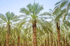 Forêt de paume de figues de date ou verger de plantation images stock