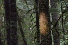 Forêt de peuplement vieux, parc national olympique, Washington photos stock