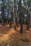 forêt de pin Photo stock