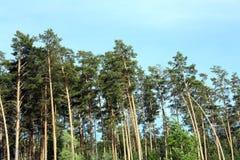 Forêt de pin Image stock