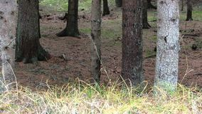 forêt de pin clips vidéos