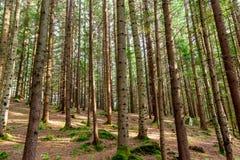 forêt de pin Image libre de droits