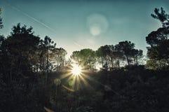 Forêt de pin au coucher du soleil Image stock