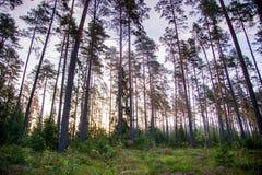 Forêt de pin au crépuscule images libres de droits