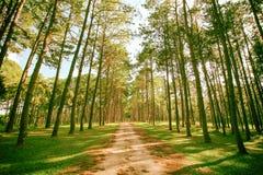 Forêt de pin au jour ensoleillé de ressort Tunnel de manière de route de pin Photographie stock