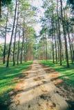 Forêt de pin au jour ensoleillé de ressort Tunnel de manière de route de pin Image stock
