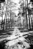 Forêt de pin au jour ensoleillé de ressort Tunnel de manière de route de pin Images stock