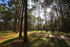 Forêt de pin au jour ensoleillé de ressort Tunnel de manière de route de pin Photographie stock libre de droits