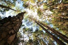 Forêt de pin au jour ensoleillé de ressort Tunnel de manière de route de pin Photos libres de droits