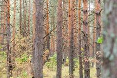 Forêt de pin avec beaucoup d'arbres à l'automne photo libre de droits
