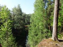 Forêt de pin avec de jeunes bouleaux en été 24 Image stock