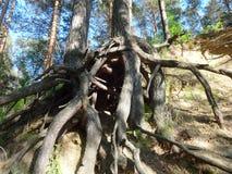 Forêt de pin avec de jeunes bouleaux en été 29 Image libre de droits