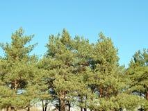 Forêt de pin avec le ciel bleu Photos libres de droits