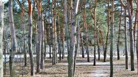 Forêt de pin avec le ciel bleu Photos stock