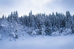 Forêt de pin couverte de neige Photographie stock libre de droits