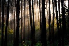 Forêt de pin d'été Photographie stock