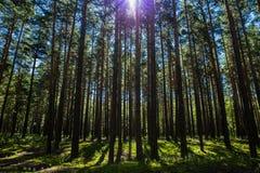 Forêt de pin d'été en parc national de nature de Burabai, Kazakhstan Image stock