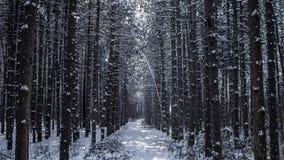 Forêt de pin d'hiver Photos stock