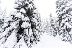 Forêt de pin d'hiver Photo libre de droits