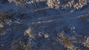 Forêt de pin d'une vue d'oeil du ` s d'oiseau Belle nature d'hiver de la Sibérie clips vidéos