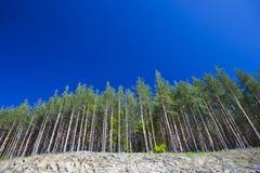 Forêt de pin dans la perspective Photographie stock libre de droits