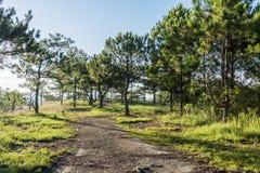 Forêt de pin dans le Lat du DA Images stock