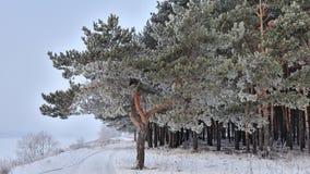 Forêt de pin dans un jour d'hiver givré Images libres de droits