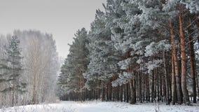 Forêt de pin dans un jour d'hiver givré sur la côte de Voltga de thes Image libre de droits