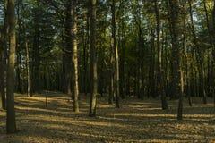 Forêt de pin dans un jour ensoleillé images stock
