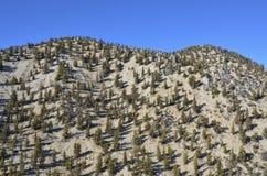 Forêt de pin de Bristlecone Photos libres de droits