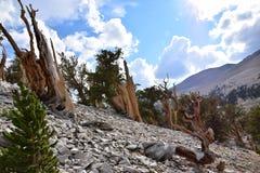 Forêt de pin de Bristlecone Image stock