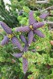 Forêt de pin de Bristlecone Photos stock