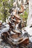 Forêt de pin de Bristlecone Photographie stock libre de droits