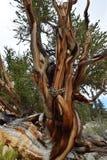 Forêt de pin de Bristlecone Photo libre de droits