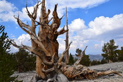 Forêt de pin de Bristlecone Images libres de droits