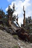 Forêt de pin de Bristlecone Photo stock