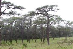 Forêt de pin de brouillard images libres de droits