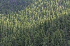 Forêt de pin de Lodgepole, passage de gallatine, Montana Photographie stock libre de droits