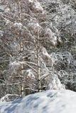 Forêt de pin de Milou image libre de droits