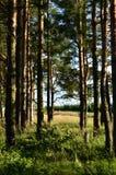 Forêt de pin en été Photographie stock