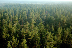 Forêt de pin en brouillard 27 (aériens) Images libres de droits
