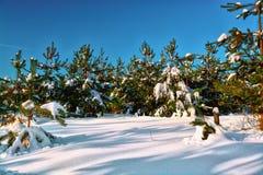 Forêt de pin en hiver dans les rayons du soleil photos stock