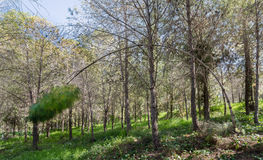 Forêt de pin en Israël photographie stock