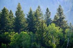 Forêt de pin en montagnes de région sauvage Photos libres de droits