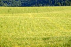 Forêt de pin en montagnes de région sauvage avec l'agriculture de champ de grain Photos libres de droits