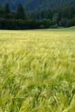 Forêt de pin en montagnes de région sauvage avec l'agriculture de champ de grain Photos stock